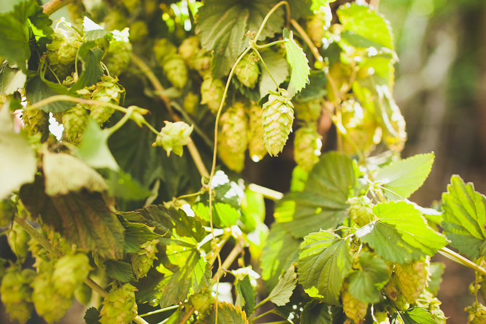 hops for wedding decoration