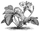 strawberryplant